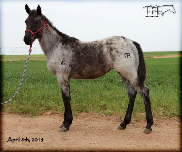 BLUEBERRY HUCK MA - Quarter Horses for Sale & Working ...