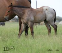 Annabone's 2020 Bay Roan Colt - UNDER CONTRACT