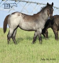 Blue Lou Dividend's 2020 Blue Roan Filly