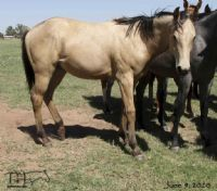 Miss Bee Bee's 2019 unregistered buckskin colt