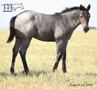 Wyo Bones MA's 2020 Roan Filly -UNDER CONTRACT