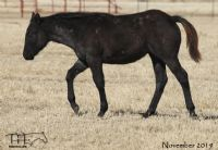 Blues Taffy's 2019 Roan Filly