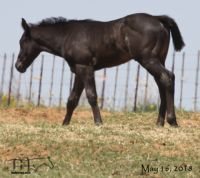 Drifting Lou's 2018 Blue Roan Filly