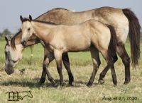 Docs Driften Heart's 2020 Buckskin Filly