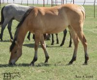 Miss Dunamita's 2019 Dun Filly