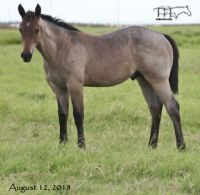 FQHR Lady Blackburn's 2018 Colt