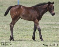 Graves Blue Spark's 2018 Roan Filly