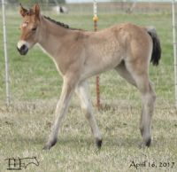 Hancocks Blu Hanna's 2017 Filly