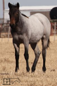 Hotrod Rockette's 2019 Roan Filly
