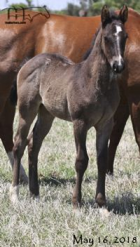 Hancocks Red Hot MA's 2018 Blue Roan Filly