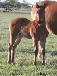 Hancocks Red Hot's 2017 Foal