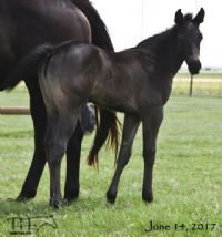 Miss Black Sock's 2017 Roan Filly