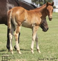 Miss Woody's 2017 Filly -SALE PENDING
