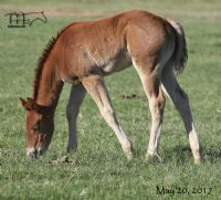Miss Woody's 2017 Filly