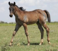 Miss Black Socks MA's 2020 Roan Filly -UNDER CONTRACT