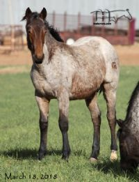 Miss Limited H's 2017 Colt
