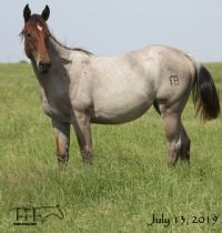 Miss Limited H's 2018 Bay Roan Filly