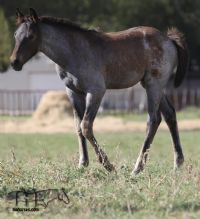 Miss Black Socks MA's 2019 roan filly