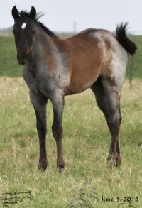 Pocowood Hancock's 2018 Blue Roan Filly