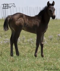 Saltys Bunny's 2020 Roan filly