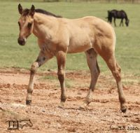 Twice As Drifty's 2020 Dun Roan Filly