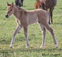 Unregistered Grulla's 2018 Colt -UNDER CONTRACT