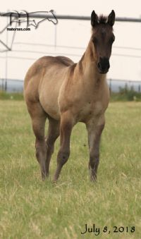 WYO Bones MA's 2018 Grulla Roan Colt - UNDER CONTRACT/SALE PENDING