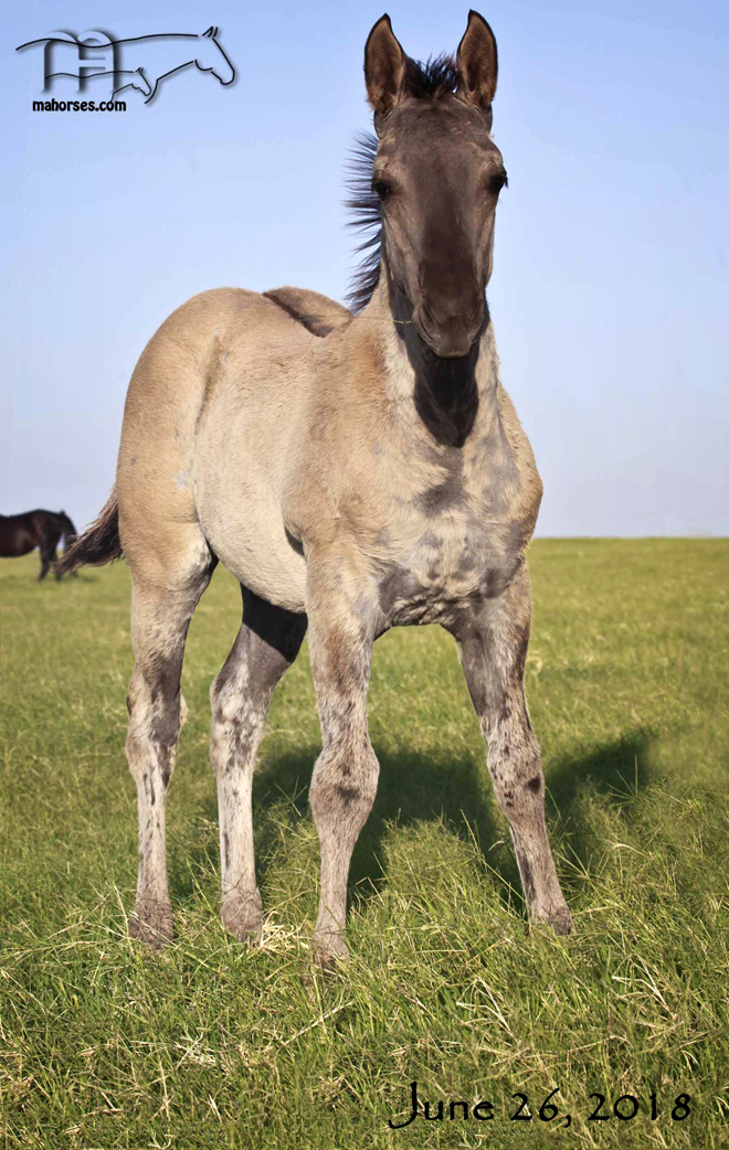 WYO Miss Curry's 2018 Grulla Roan Colt