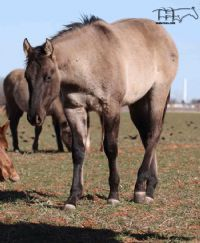 Unregistered Grulla's 2017 Colt
