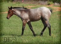 MISS SHINEY'S 2014 FILLY