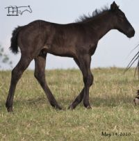 Blue Whip Topping's 2020 Blue Roan Colt