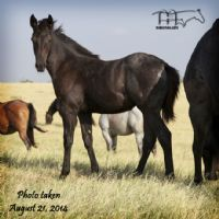 BLUE BREEZE 2014 FILLY