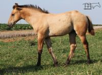 Driftwood Badger's 2016 Filly