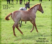 FUNNY B DANDY GIRL'S 2014 FILLY