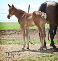 FQHR Lady Blackburn's 2015 Colt