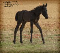 FIRST DOWN FLAME'S 2014 COLT