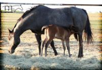 GRAVES BLUE SPARK'S 2014 FILLY