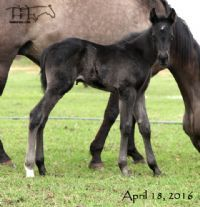 Unregistered Grulla Mare's Filly