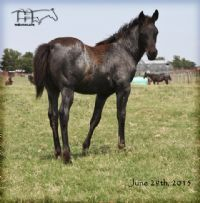Miss Black Sock's 2015 Filly