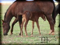 MISS SMOTRIX'S 2014 FILLY