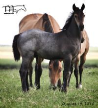 Brown Kerri's 2016 Roan Colt