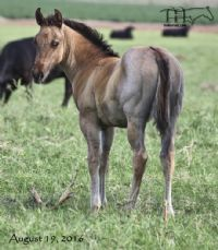 Blue Ambrose's 2016 Filly