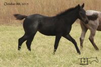 Girley's 2015 Roan Filly