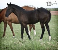 Hancocks Redhot's 2016 Filly