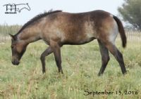 Miss Bee Bee's 2016 Filly