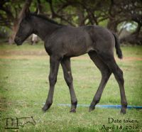 Miss Nad's 2016 Filly