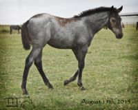 WYO One Sock's 2015 Roan Filly